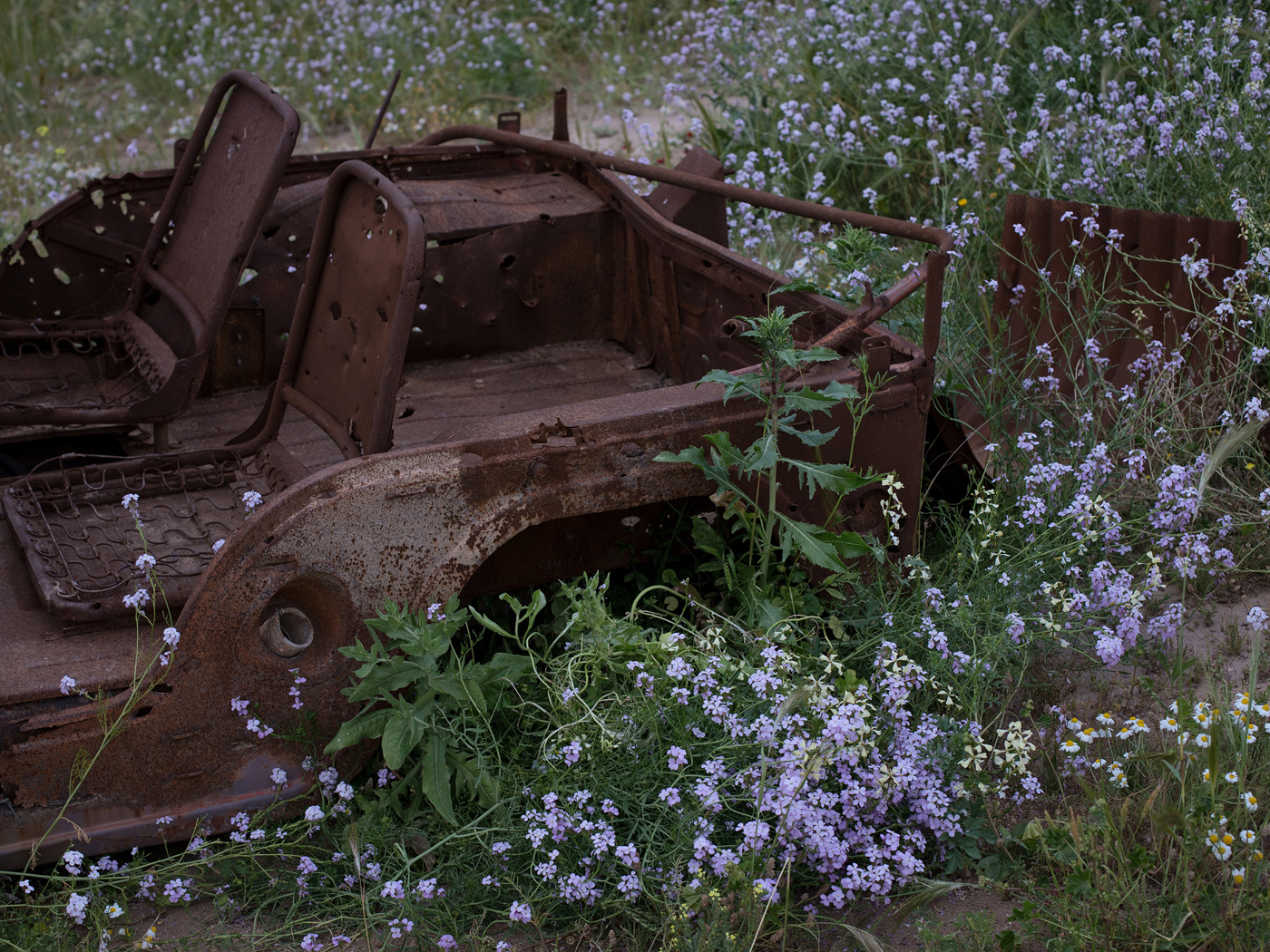 A burnt-out Iraqi jeep, relict of the Iran-Iraq War is covered by early spring vegetation.